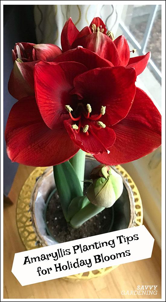 amaryllis planting tips