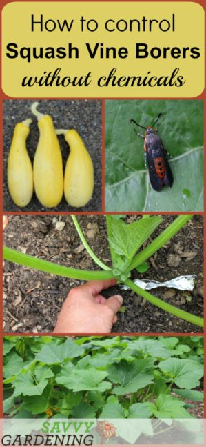 Prevent squash vine borers organically using this quick and simple trick.