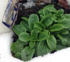 winter vegetable garden ache
