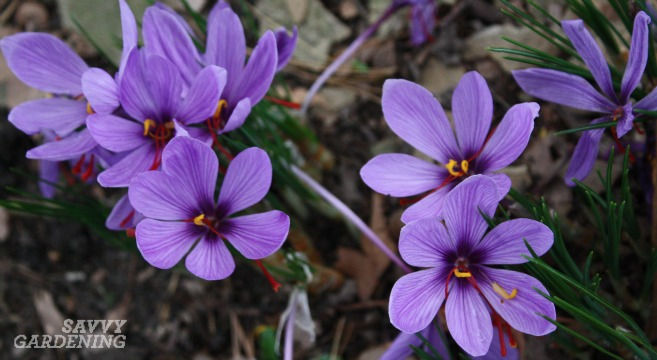 saffron crocus in bloom
