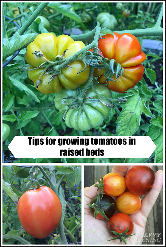 tips to grow tomatoes in raised beds