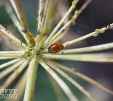 plants for beneficial insects