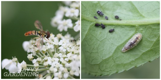 Syrphid fly adult and larva