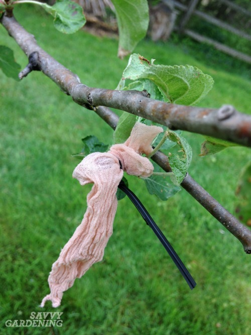 Growing organic apples with fruit bagging.