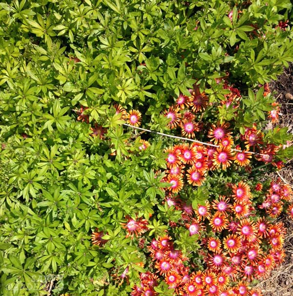 delosperma and sweet woodruff