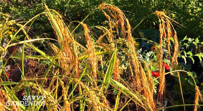 Growing rice in my backyard vegetable garden