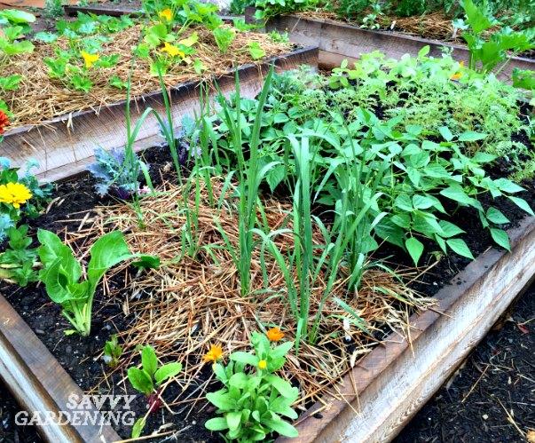 Genial Rice Plants In A Vegetable Garden