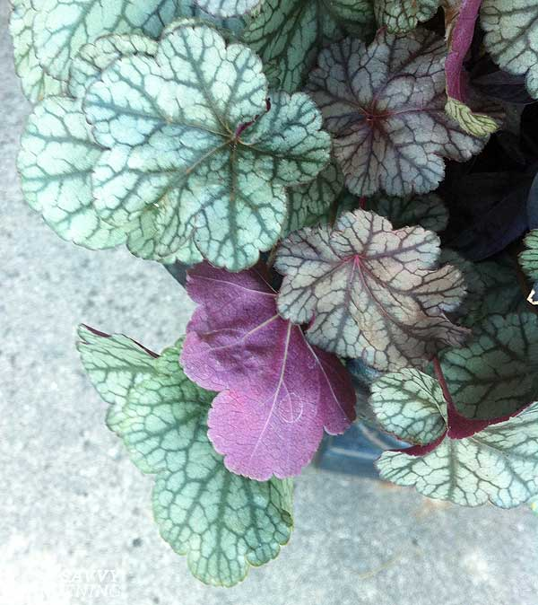 heuchera in a fall container