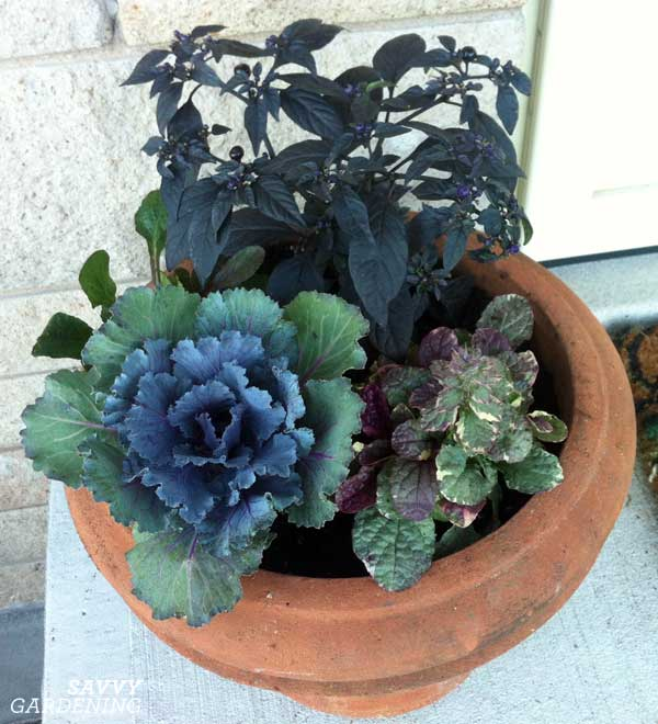 ornamental cabbage in a pot