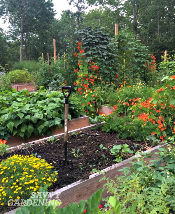 Succession planting in a vegetable garden