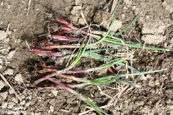 Growing onions from transplants