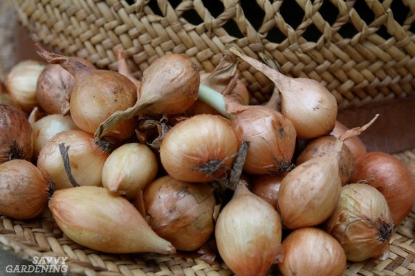 That how to onion starts form mature onions something is