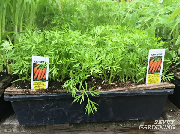 The pro's and con's of starting your own plants from seed or buying transplants.