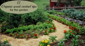 Easy organic weed management tips for your garden.