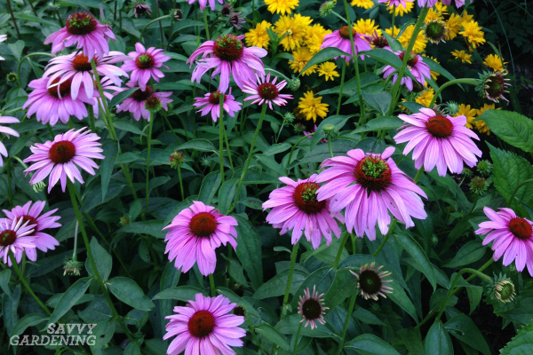 Coneflowers are great plants for pollinator gardens.