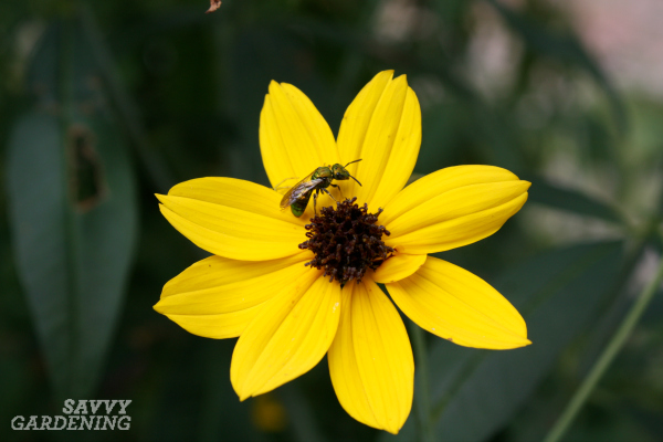 Coreopsis is one of the best bee plants for small bees.