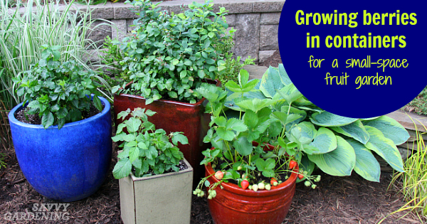 Growing Berries in Containers: How to Grow a Small Space Fruit Garden