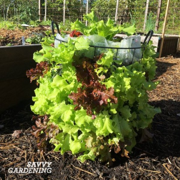 A DIY lettuce tower is a fun and easy garden project.