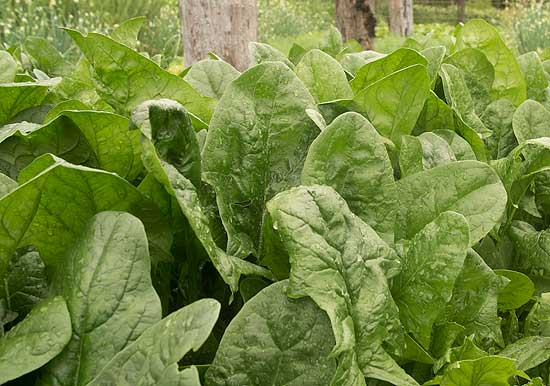 Imperial Green Spinach is a great option for late-summer succession planting.
