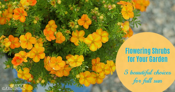 Flowering Shrubs For Your Garden 5 Beauties For Full Sun