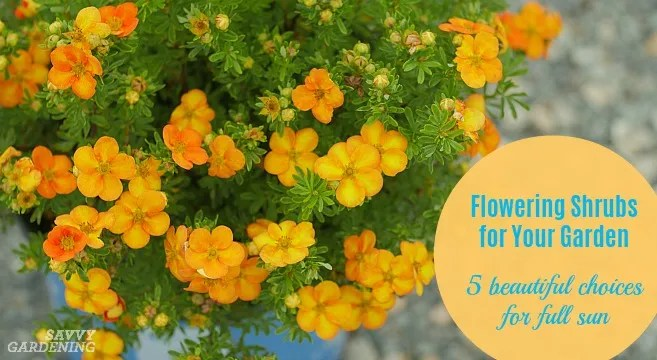 5 flowering shrubs for your garden that are real stand-outs in full sun.