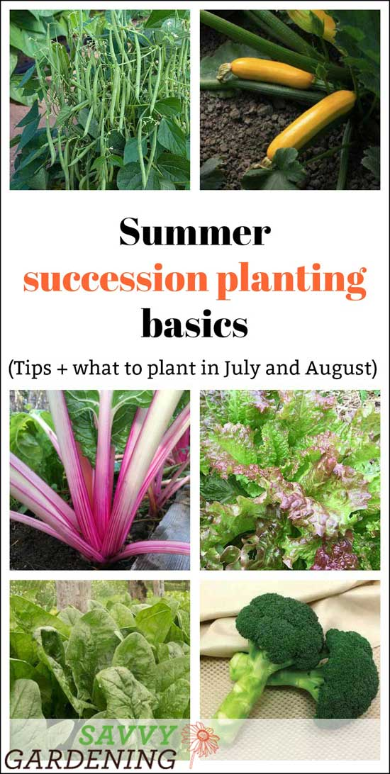 Savvy vegetable gardeners know that summer succession planting is the key to a non-stop harvest. This technique can be used in large vegetable gardens, small plots, and even on decks and patios where food is grown in containers. (AD)