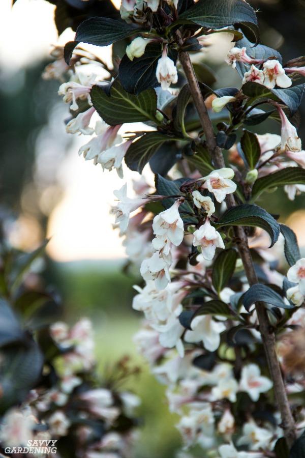 Flowering shrubs for full sun include Tuxedo™ Weigela.