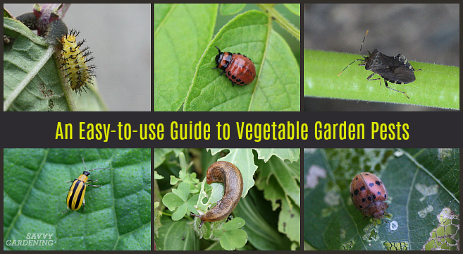 An easy-to-use guide to vegetable garden pests for gardeners.