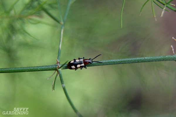 Asparagus beetles are a common pest for asparagus growers.