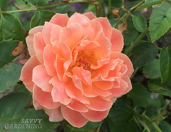 At Last, a hardy rose