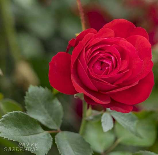 Hardy roses: The Canadian Shield Rose