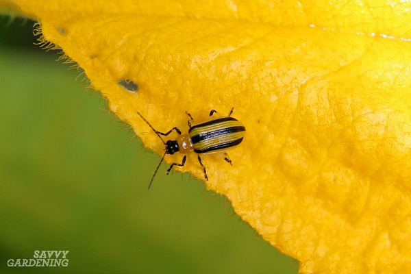 Cucumber beetles spread bacterial wilt as they feed.