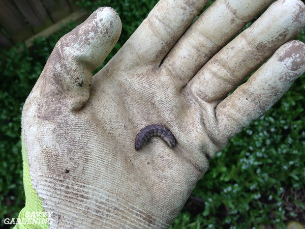 Cutworms are a destructive pest of the vegetable garden.