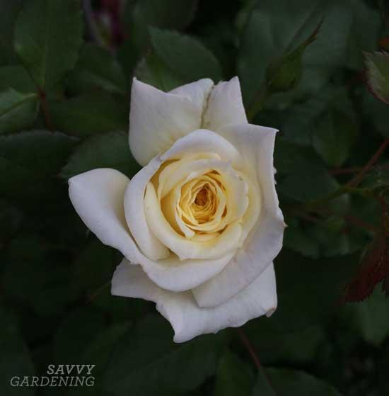 Easy Elegance® rose