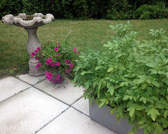 potato plants in a washbasin raised bed