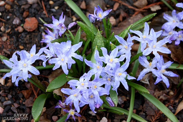 Chionodoxa luciliae is a delightful, spring-blooming bulb for the garden.