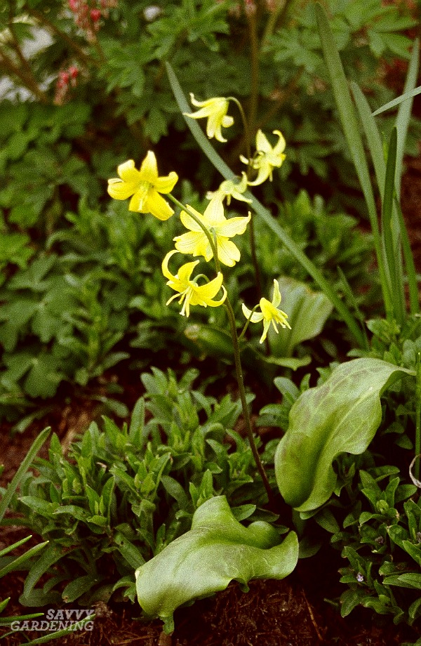 Trout lilies are lovely native bulbs for woodland gardens.