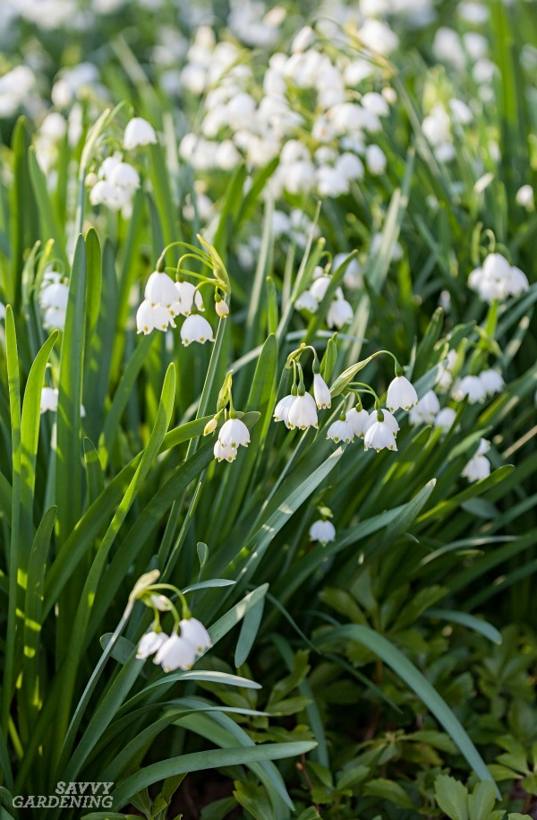 Snowflake flowers are a spring bulb worth growing.