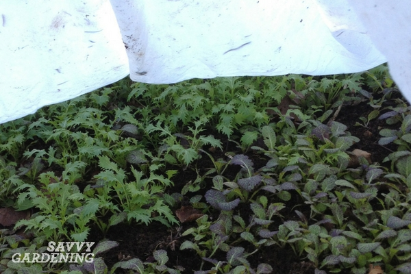 Overwinter cold tolerant leafy vegetables for a bumper crop of greens in late winter.