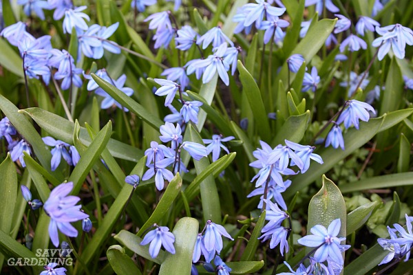 Scilla siberica, or Serbian squill, are a great bulb plant for gardens.
