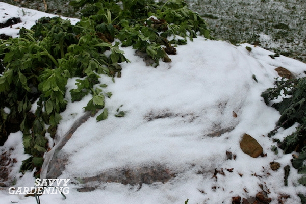 A winter mulch is an effective way to insulate root crops.