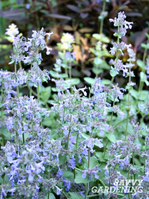 Catmint is one of the longest flowering perennials.
