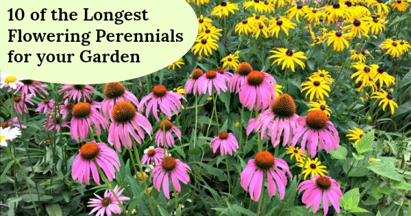 10 of the longest flowering perennials for your garden longest flowering perennials fbgfit600315ssl1 mightylinksfo