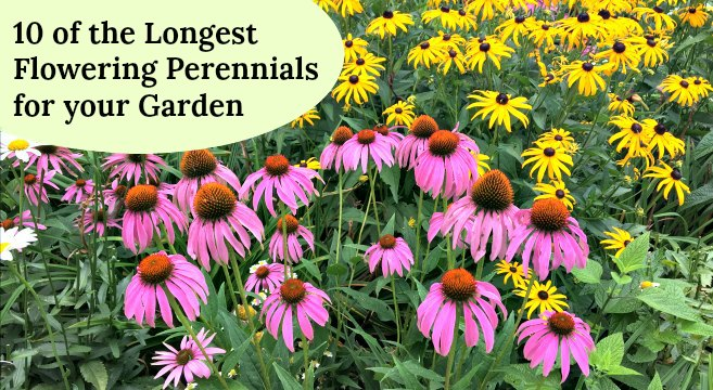 Long-blooming perennials provide months of garden interest and color.
