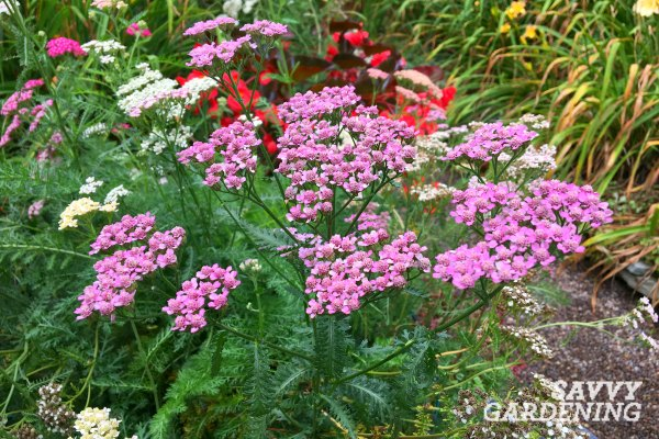 Yarrow is a long blooming perennial.