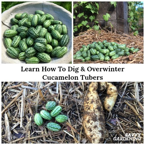 Learn how to lift & overwinter cucamelon tubers.