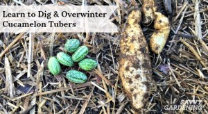 Digging and overwintering cucamelon tubers results in an earlier crop.