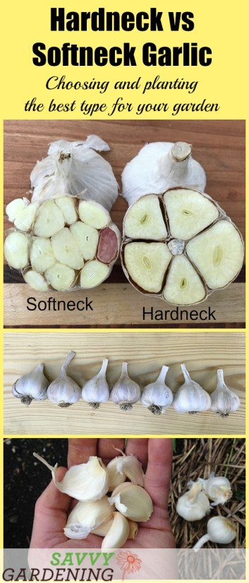 Hardneck vs softneck garlic: A side-by-side comparison