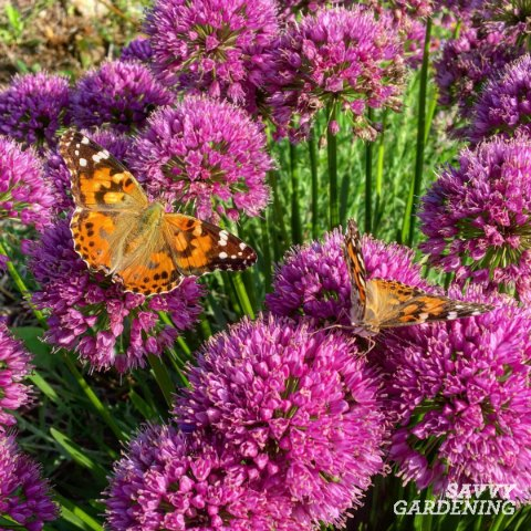 Millenium Allium is a long flowering perennial that's attractive to bees and butterflies.