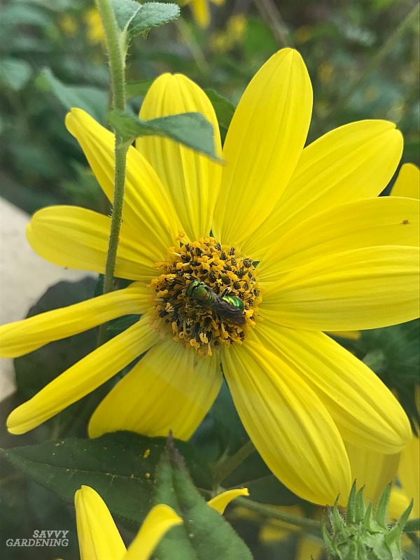 Helianthus with a native bee